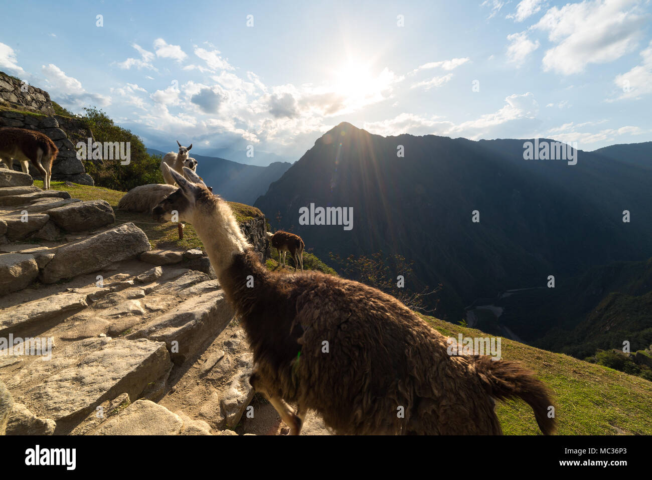 Llamas at Machu Picchu, Peru, top travel destination. - Stock Image