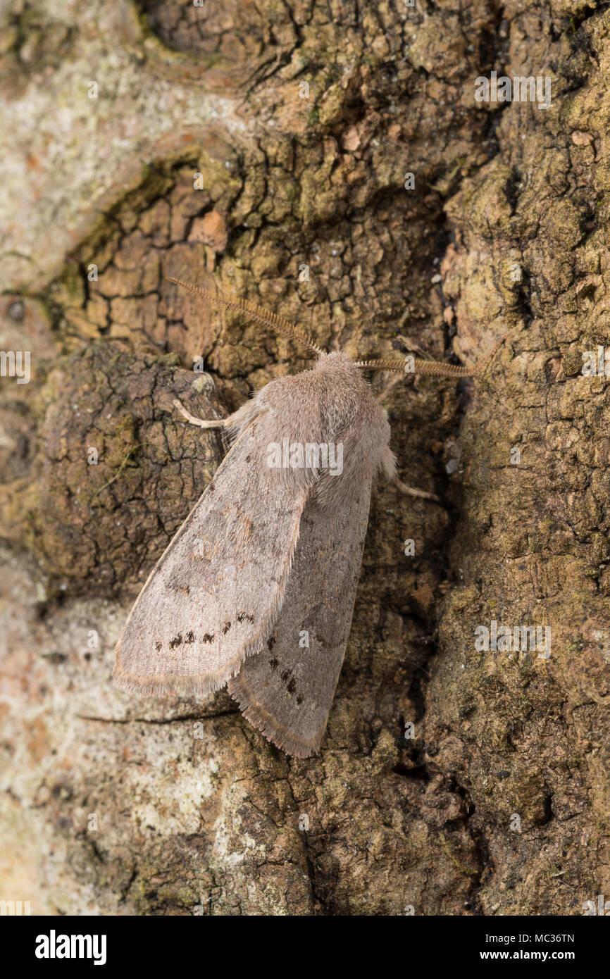 Pappel-Kätzcheneule, Pappel-Kätzchen-Eule, Orthosia populeti, Lead-coloured Drab, Eulenfalter, Noctuidae, noctuid moths, noctuid moth - Stock Image