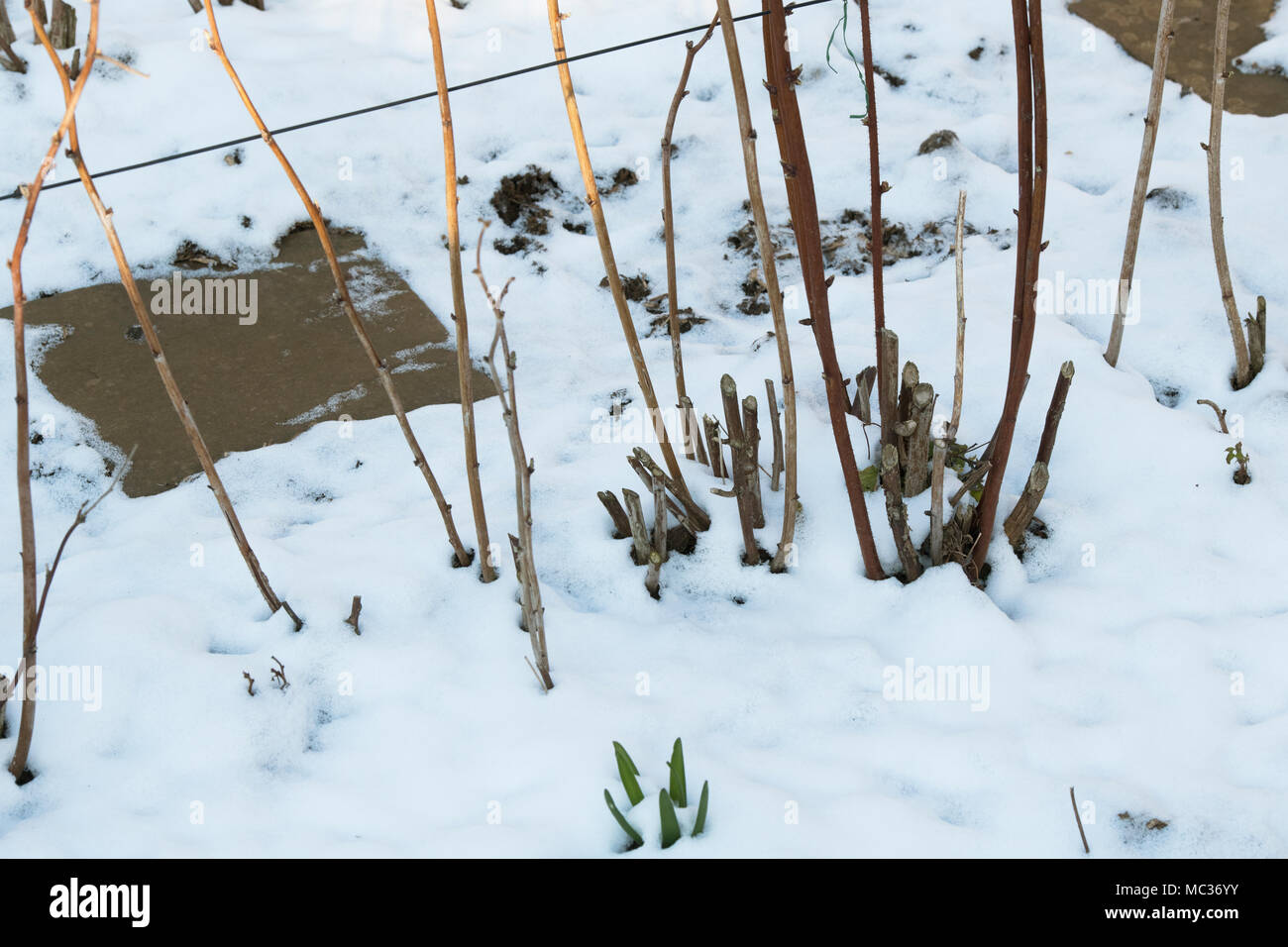 Rubus. Cut back raspberry stems in the march snow in an english garden. UK - Stock Image