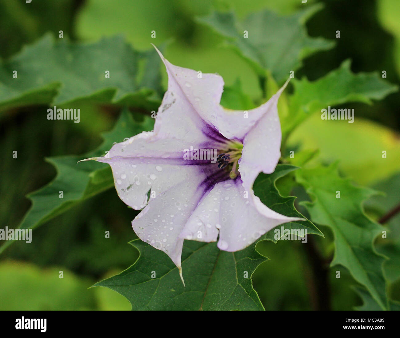 Datura stramonium jimsonweed or devils snare dangerous poisonous datura stramonium jimsonweed or devils snare dangerous poisonous plant with beautiful white flower mightylinksfo