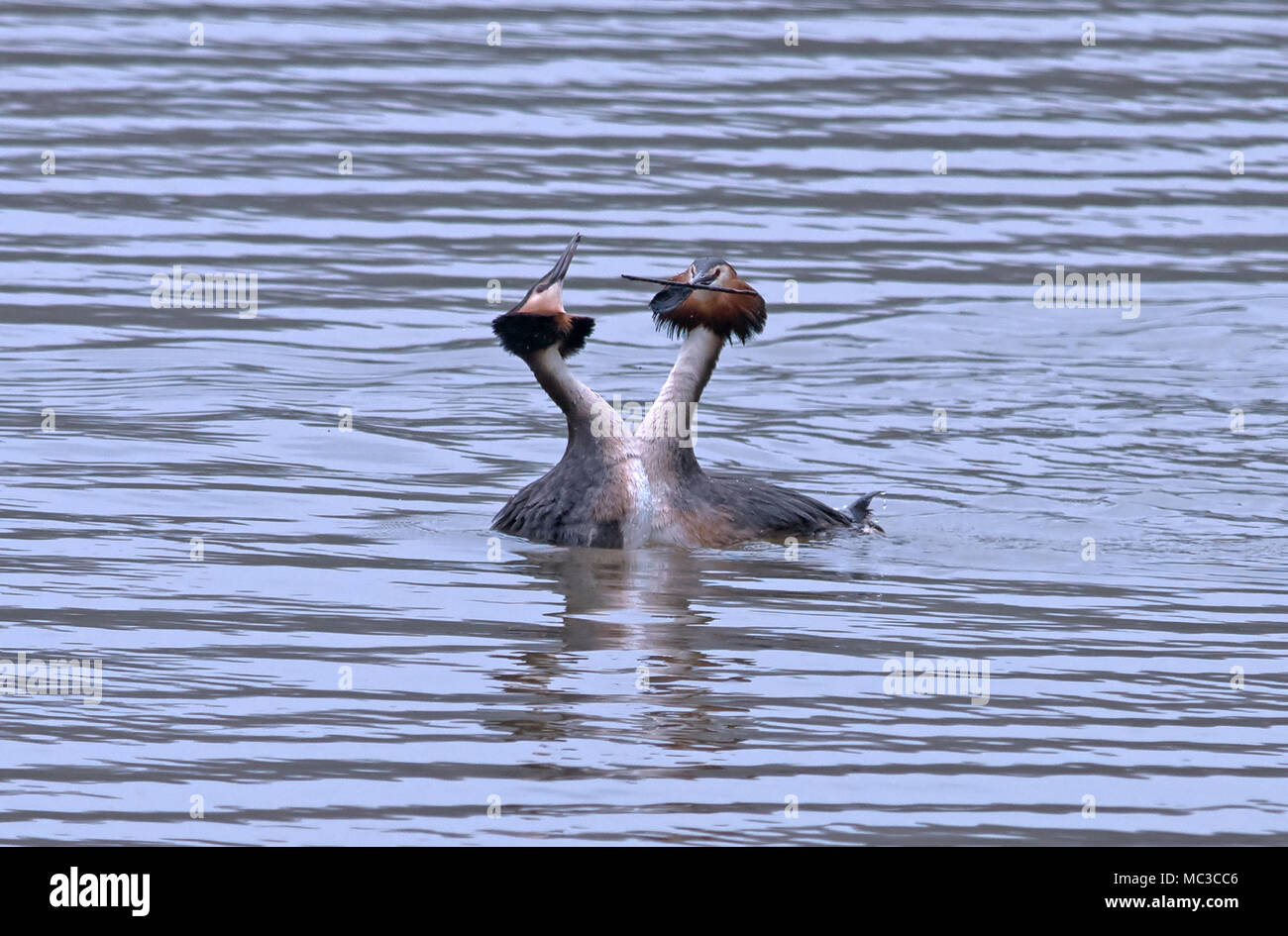 Great Crested Grebes-Podiceps cristatus perform weed dance. - Stock Image