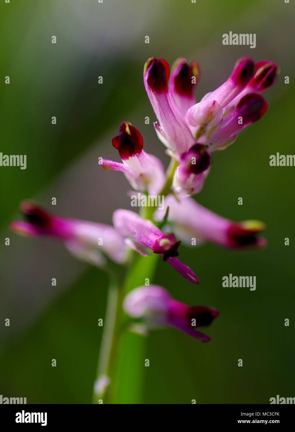Common Fumitory (Fumaria officinalis). Pink Scrambling Wildflower, Macro Photo. Growing on Dawlish Warren Nature Reserve. Devon, UK. - Stock Image
