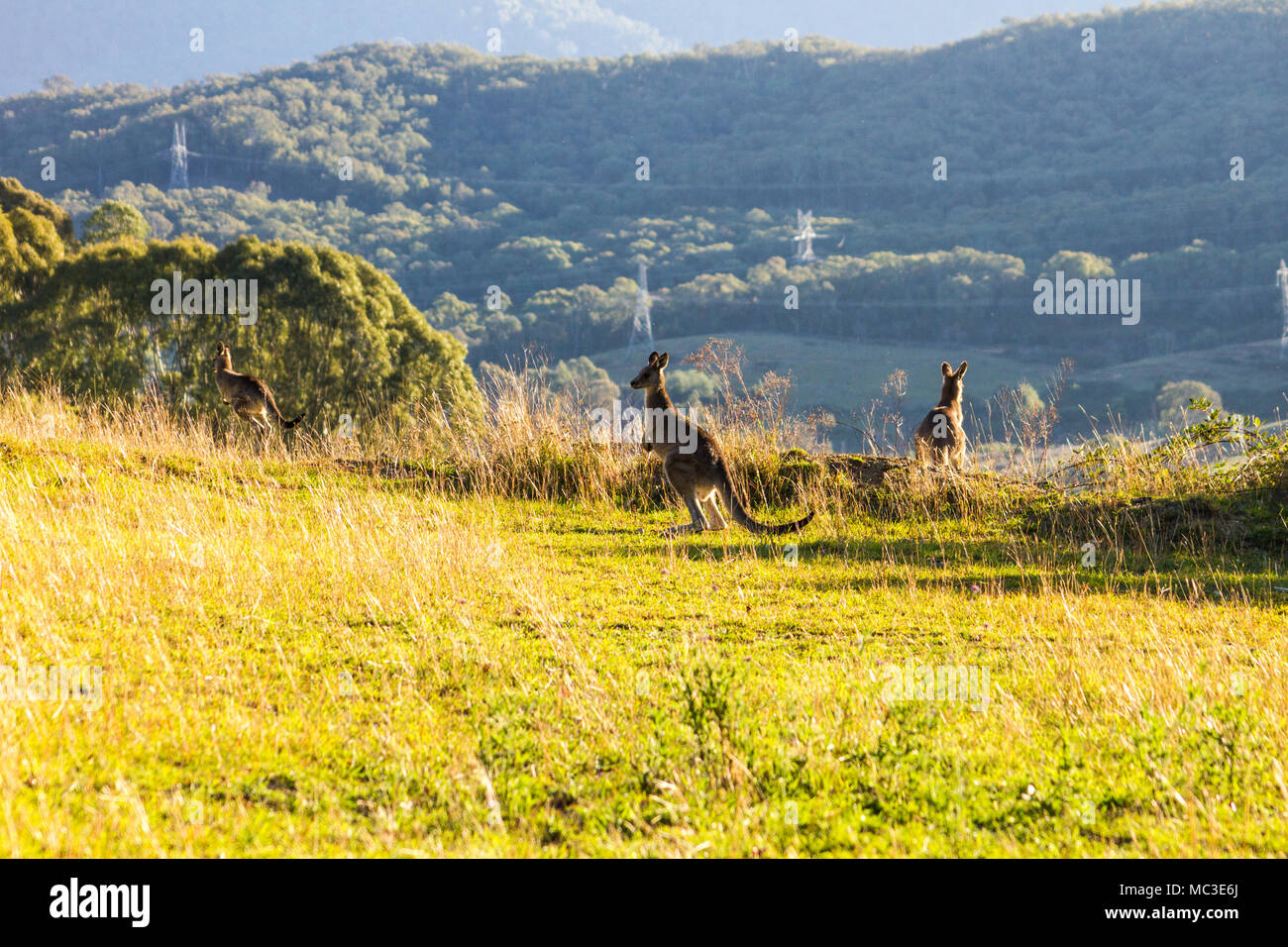 Kangaroos hopping on the edge of a mountain, lit by the sun with another mountain in the background - Stock Image