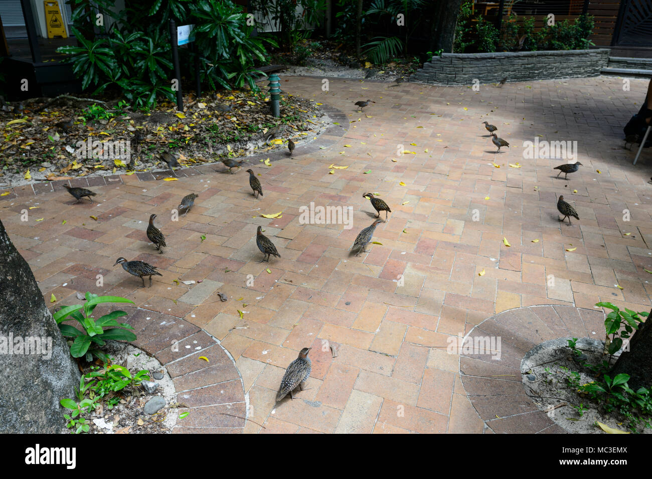 Over-population of Buff-banded Rails (Gallirallus philippensis) around restaurants at Green Island, Great Barrier Reef, Far North Queensland, QLD, FNQ - Stock Image