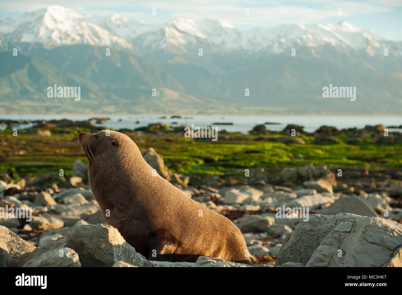 it wild life seal in kaikoura new zealand. i took it early morning so it look very sleepy. if you want image of morning, you can use it. - Stock Image