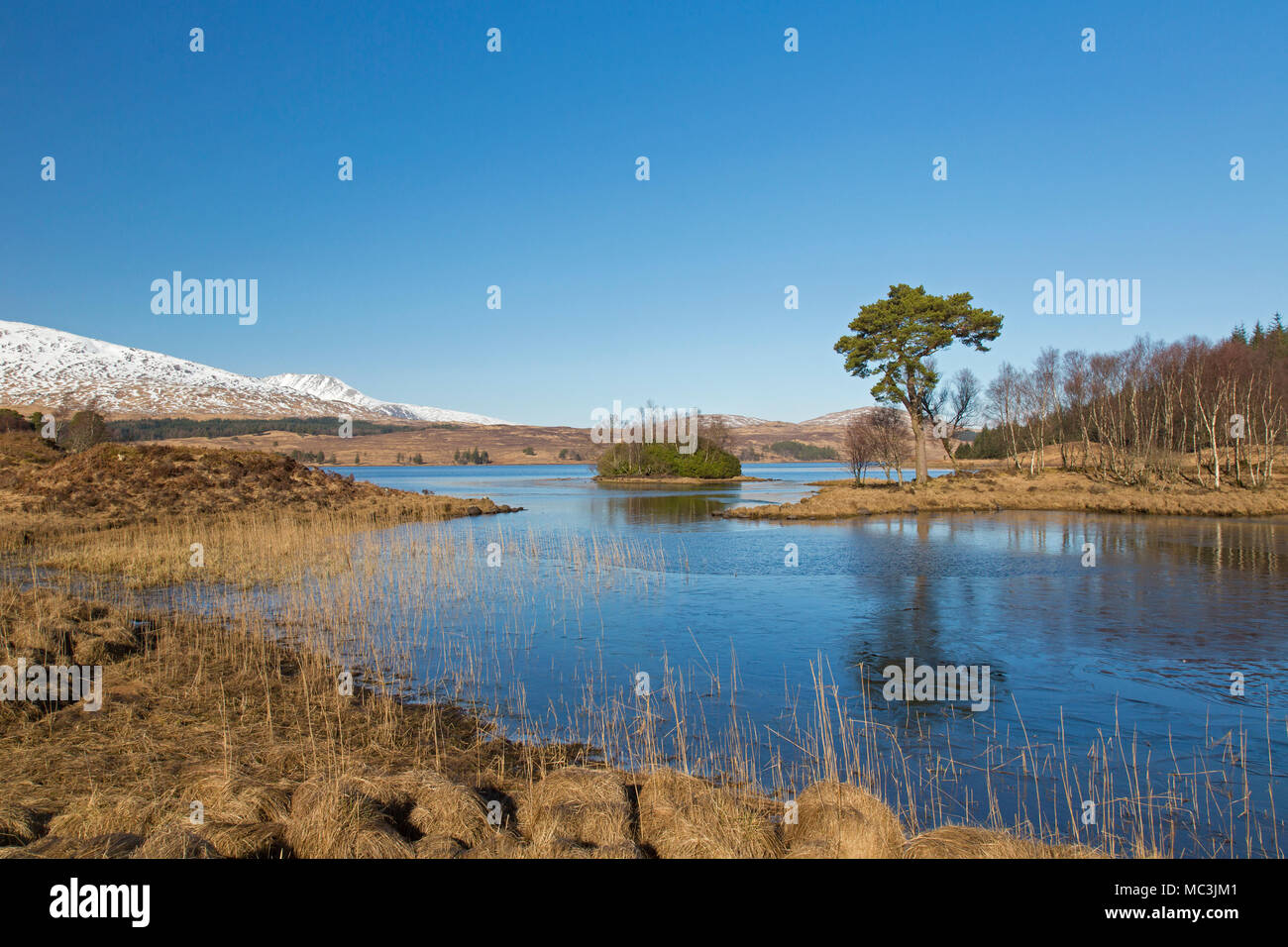 Scots pine (Pinus sylvestris) along Loch Tulla in the Scottish Highlands in winter, Argyll and Bute, Scotland, UK - Stock Image