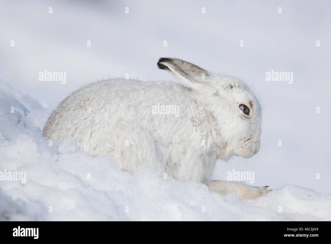 Mountain hare / Alpine hare / snow hare (Lepus timidus) in white winter pelage resting in the snow - Stock Image