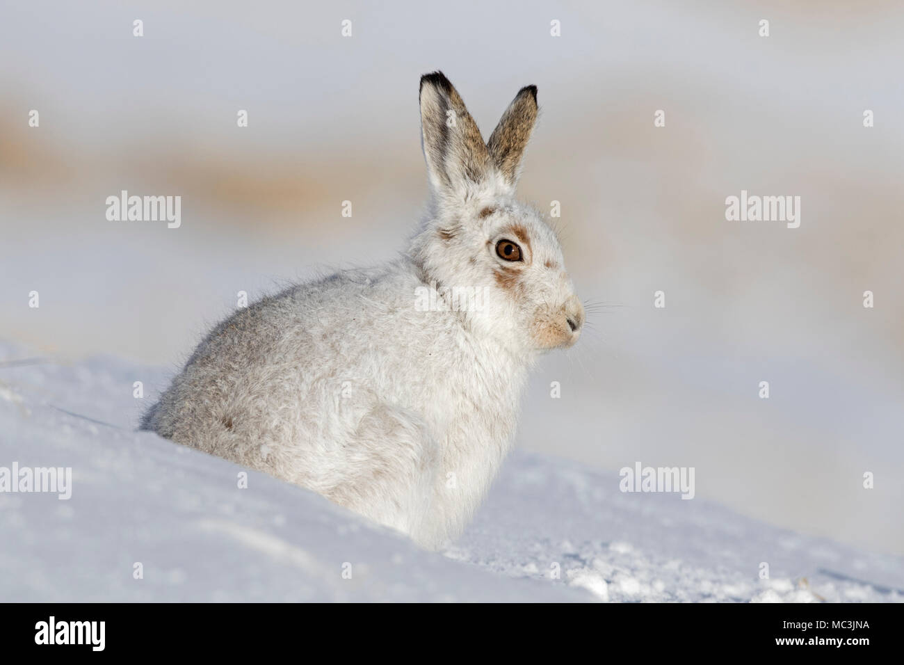 Mountain hare / Alpine hare / snow hare (Lepus timidus) in white winter pelage sitting in the snow - Stock Image