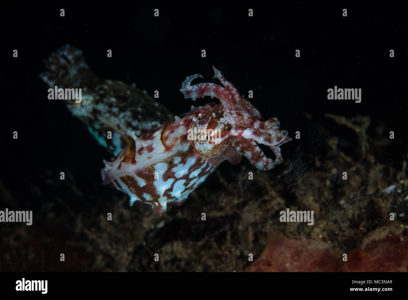 A pair of Crinoid cuttlefish, Sepia sp., hover above the dark seafloor in Lembeh Strait, Indonesia. - Stock Image