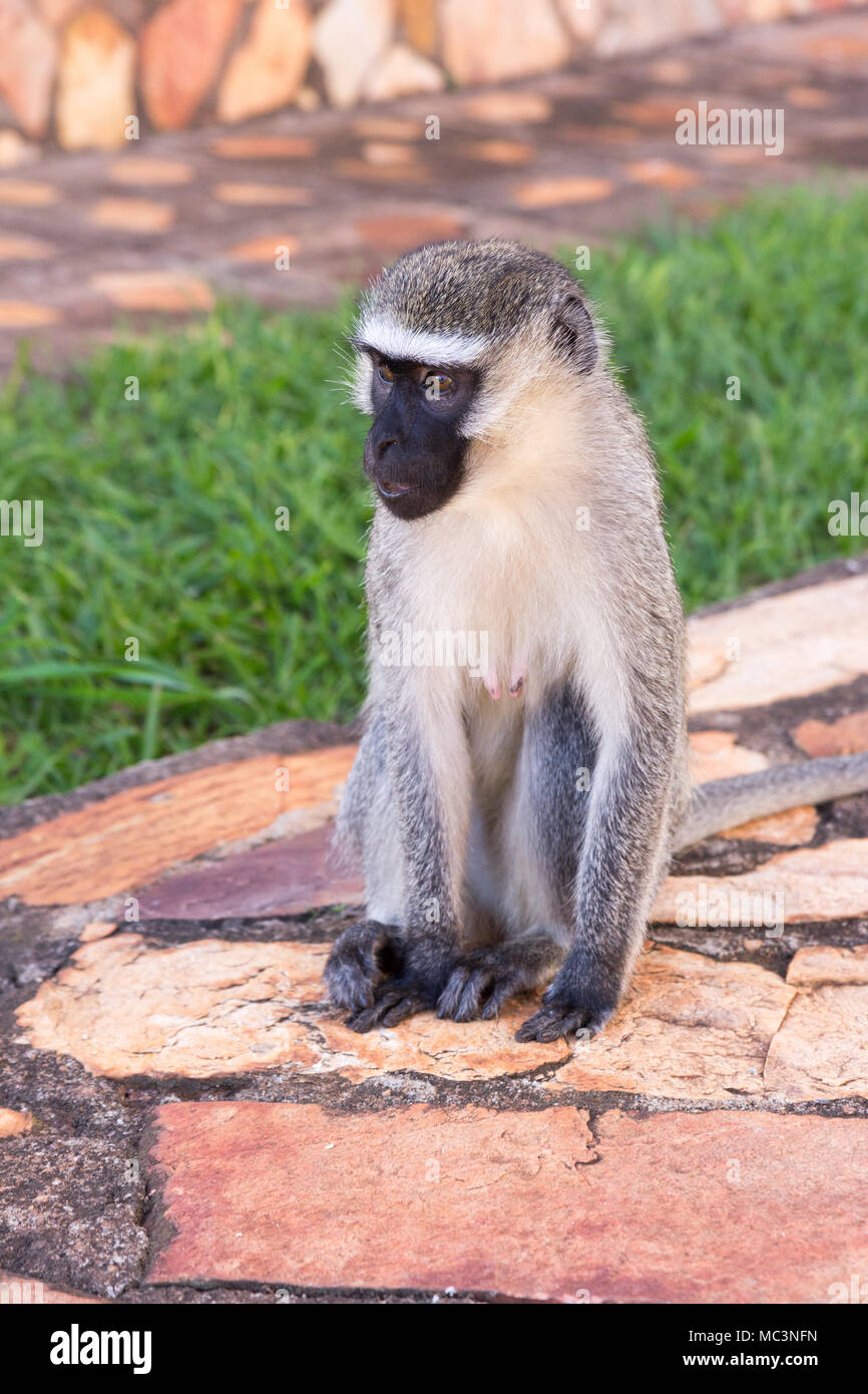 The vervet monkey in grass in a resort in Jinja, Uganda in 2017. The vervet monkey (Chlorocebus pygerythrus), or simply vervet, is an Old World monkey - Stock Image