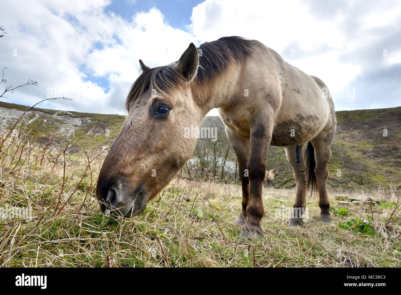 Konik Ponies on Malling Down, Lewes, East Sussex, used by Sussex Wildlife Trust to graze on the South Downs National Park. - Stock Image