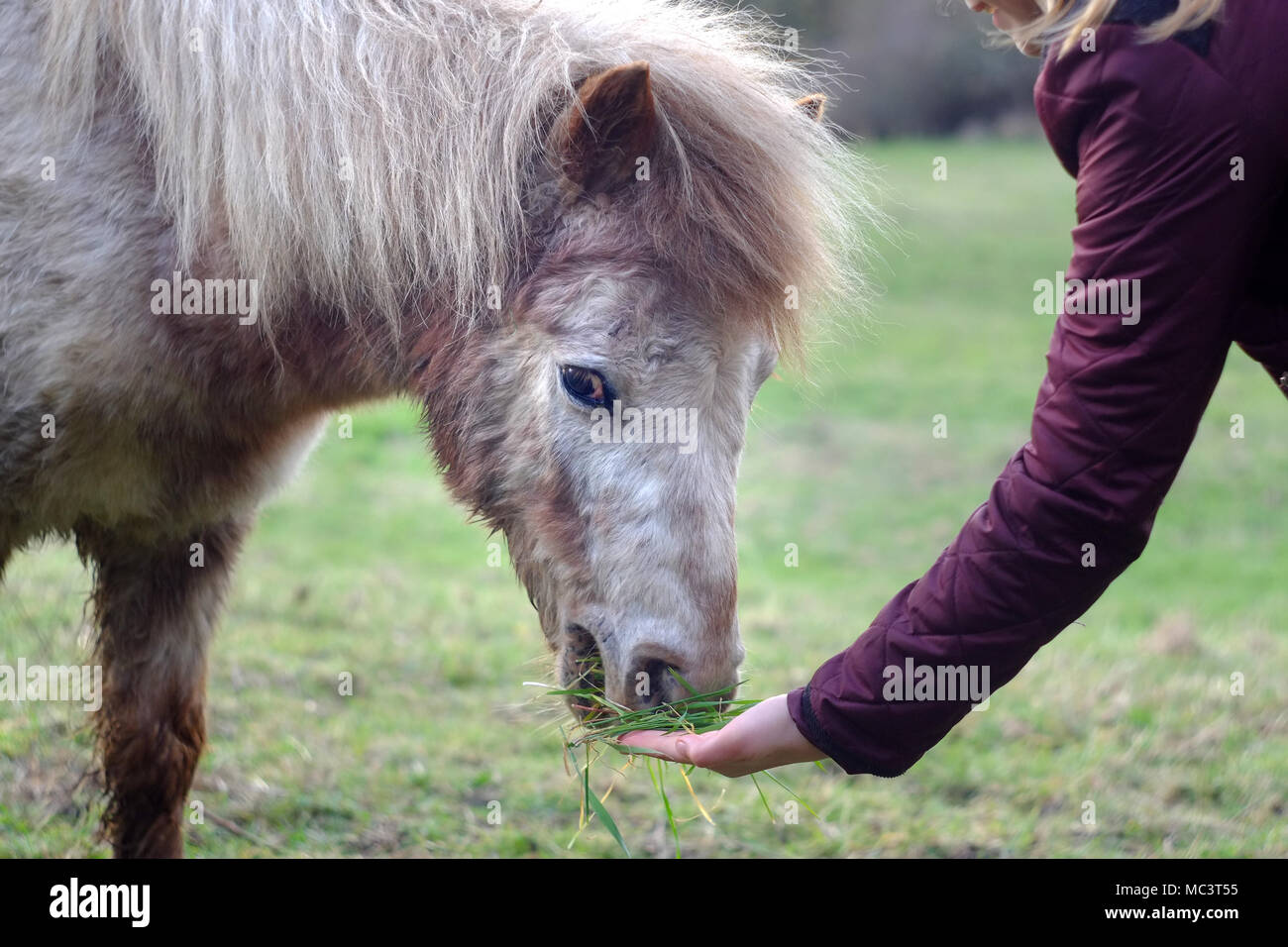 Close up of a girl feeding a shetland pony by hand. - Stock Image