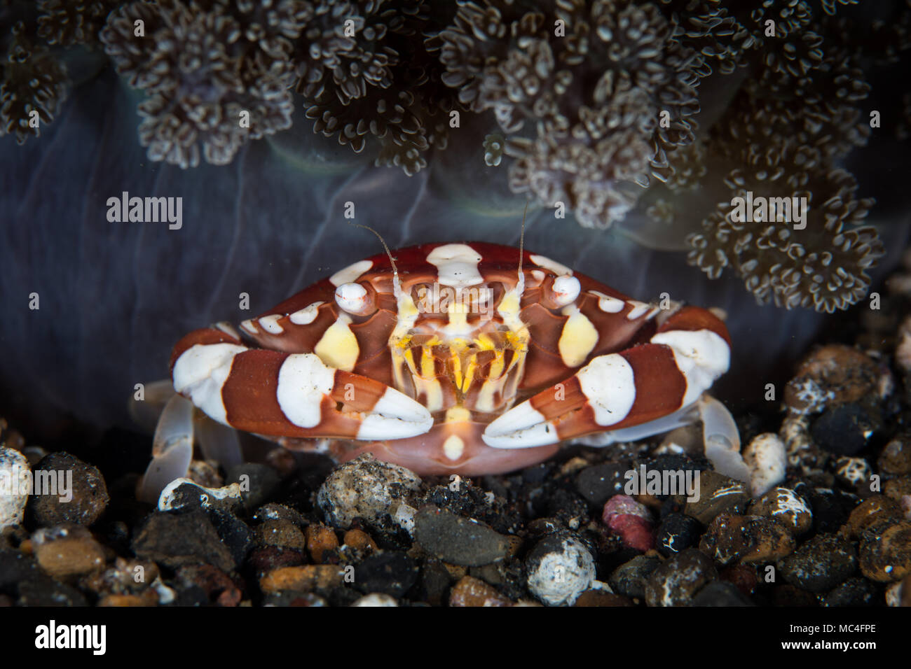A colorful Harlequin Swimming Crab, Lissocarcinus laevis, sits below the tentacles of a stinging anemone in Lembeh Strait, Indonesia. - Stock Image