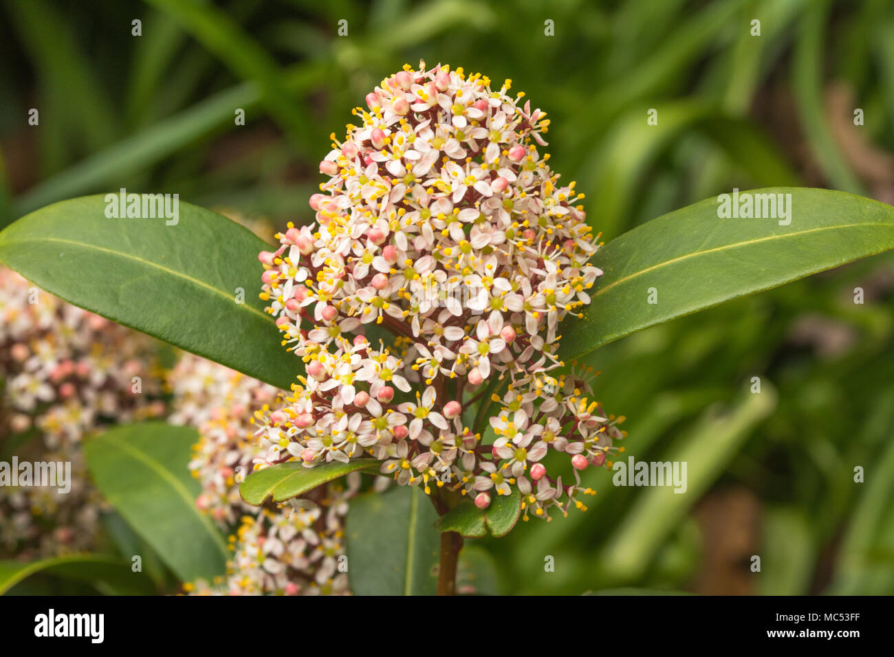 Skimmia japonica rubella in spring with small white flowers - Stock Image