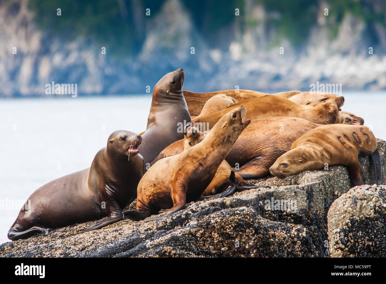 Stellar Sea Lions (Eumetopias jubatus) in Kenai Fjords National Park in Alaska. - Stock Image