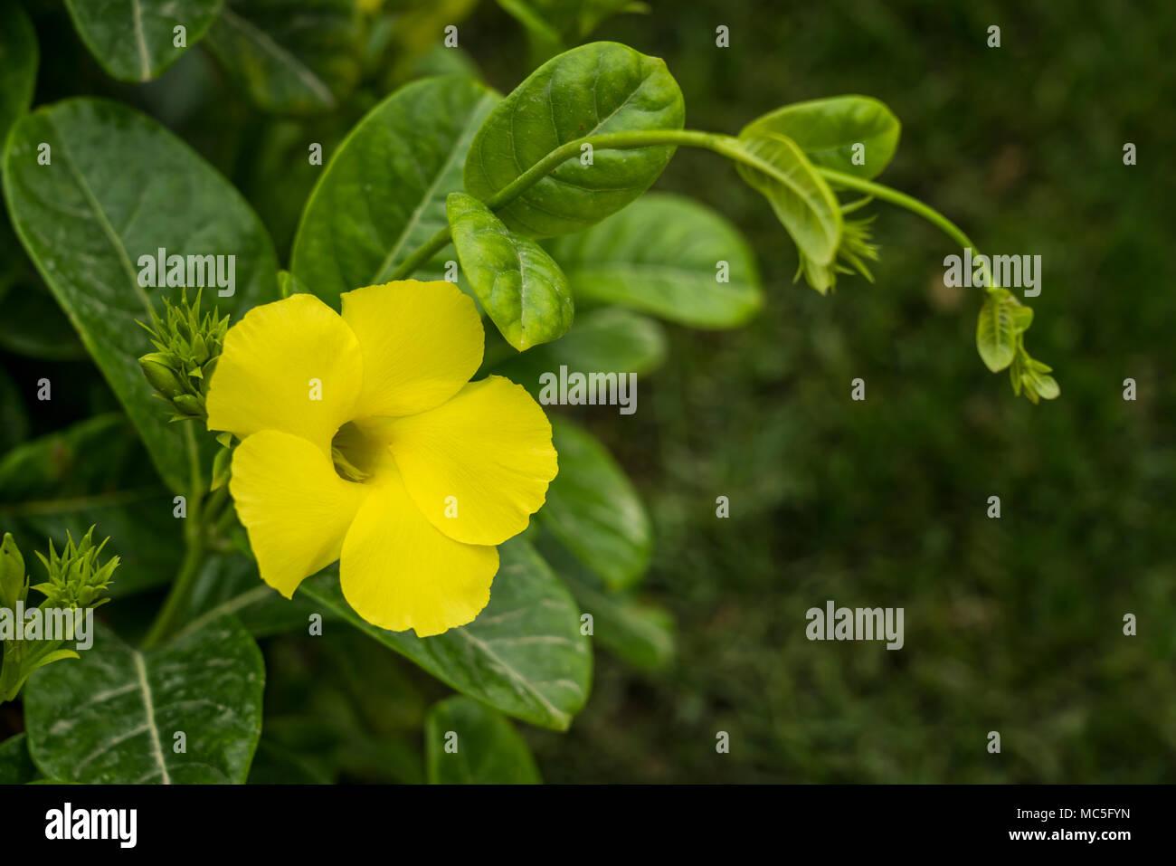 Yellow Tropical Flowers Stock Photos Yellow Tropical Flowers Stock