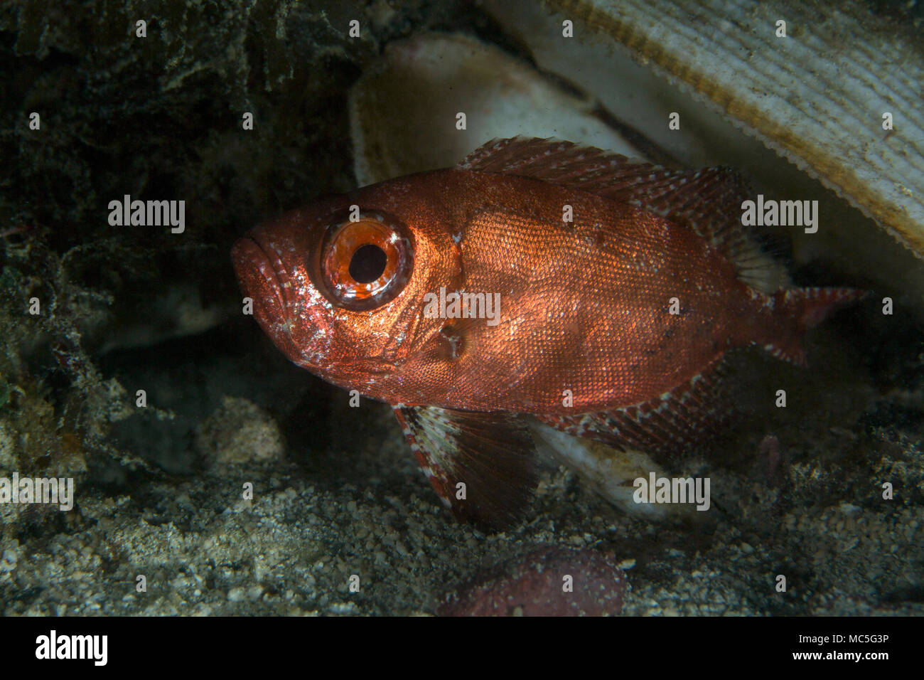 Soldier fish at the night time. Picture was taken in the Ceram sea, Raja Ampat, West Papua, Indonesia Stock Photo