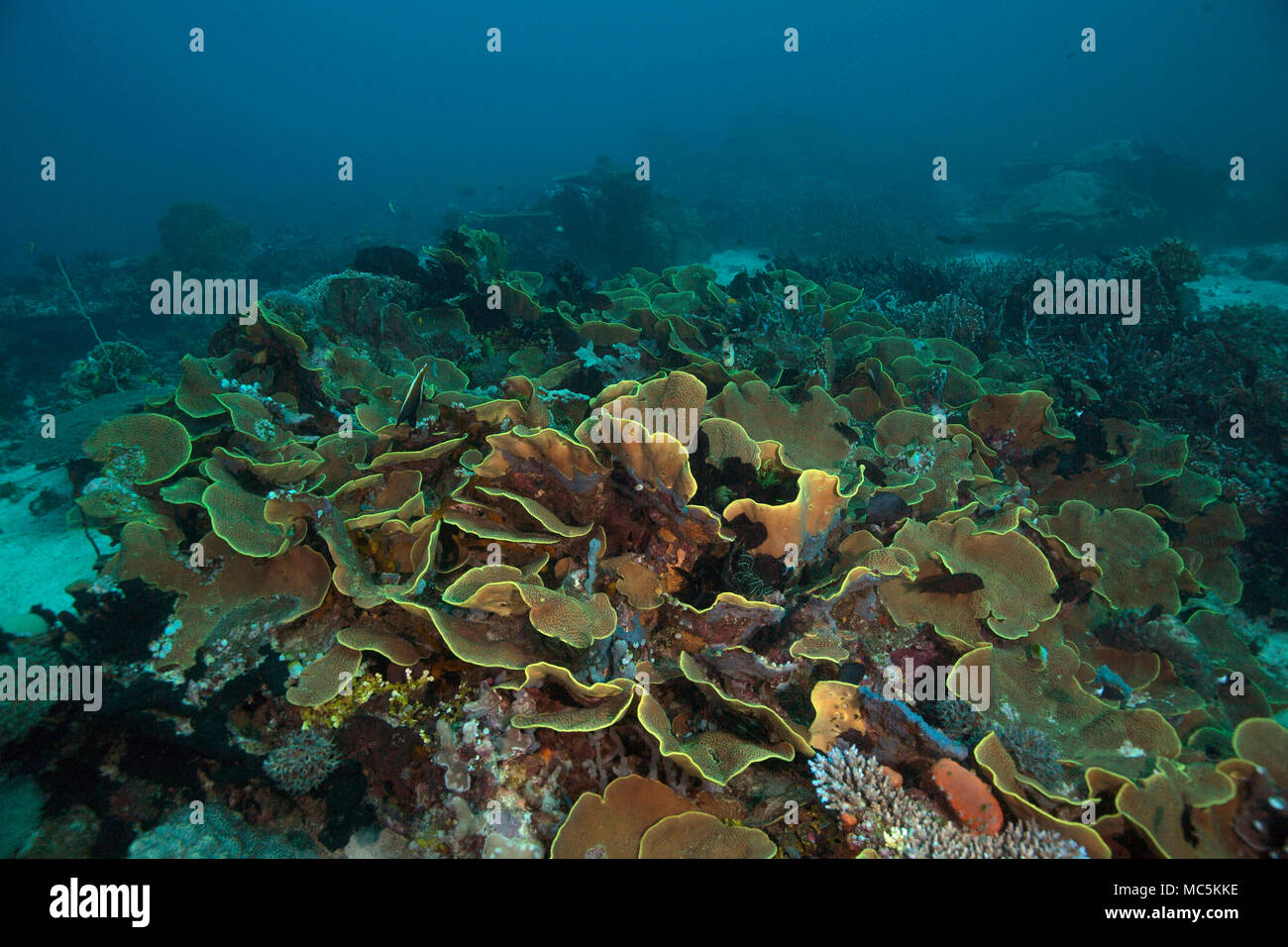 Yellow scroll coral (Turbinaria reniformes). Picture was taken in the Ceram sea, Raja Ampat, West Papua, Indonesia Stock Photo
