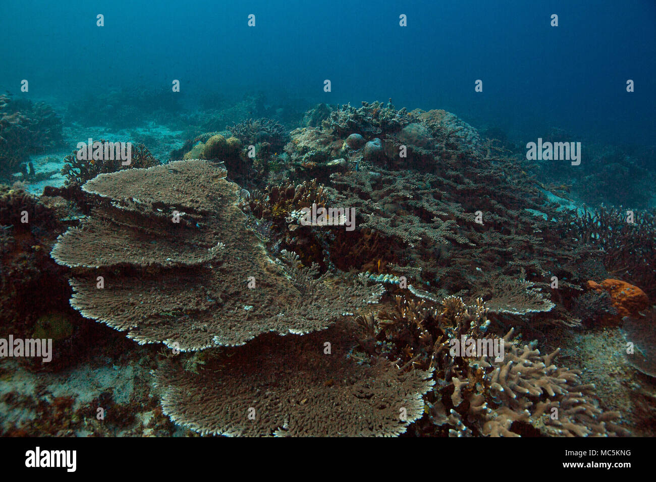 Wonderful hard corals. Picture was taken in the Ceram sea, Raja Ampat, West Papua, Indonesia Stock Photo