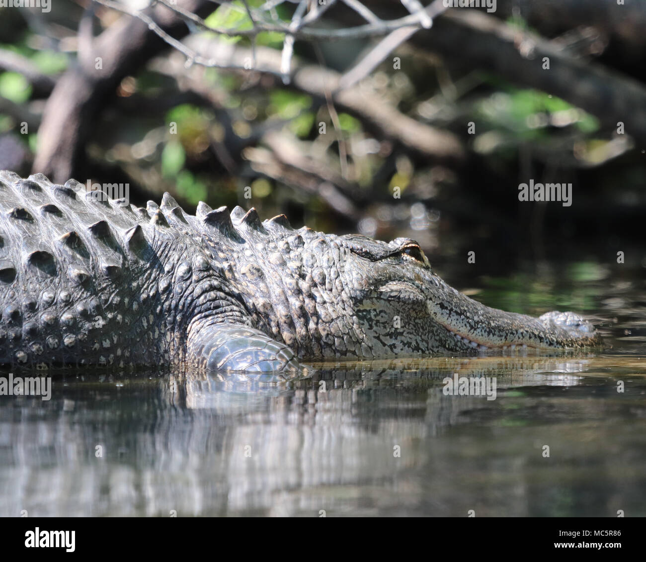 Large Alligator at Rainbow Springs, Dunnellon Florida - Stock Image