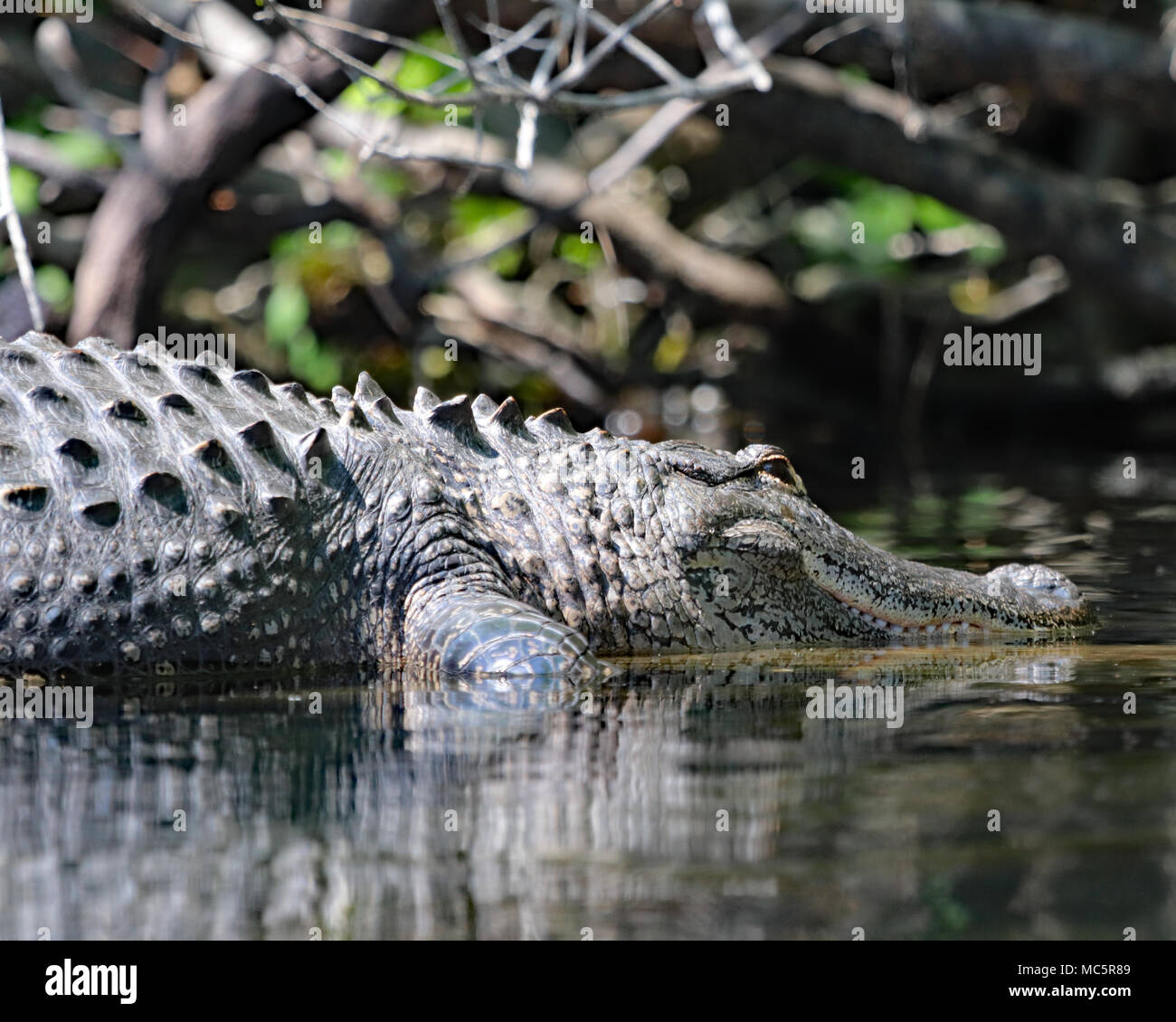 Alligator resting in the waters of Rainbow river in Dunnellon, Florida - Stock Image