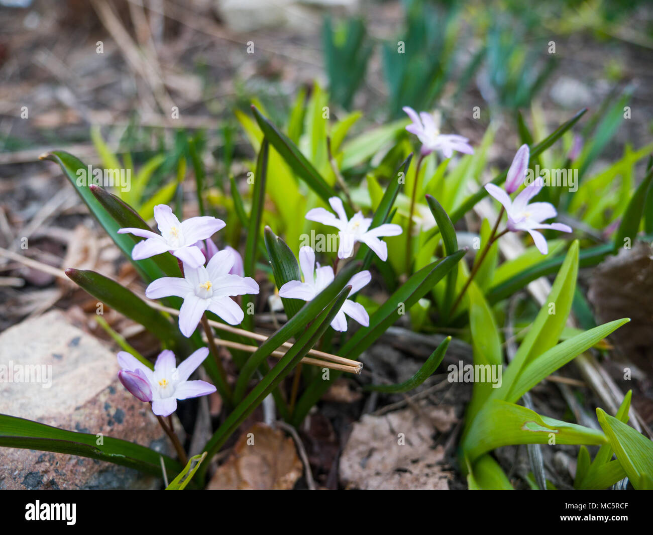 Small Glory Of The Snow Or Chionodoxa Small Light Purple Perennial