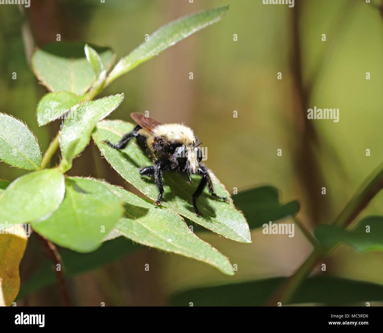 Close-up of a Florida Bee killer (Mallophora bomboides) - Stock Image