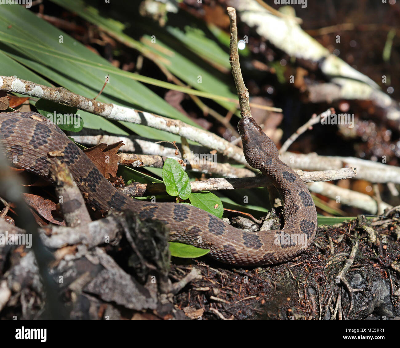 Brown water snakes are a nonvenomous water snake often found along the edges of rivers and lakes in southern states. - Stock Image