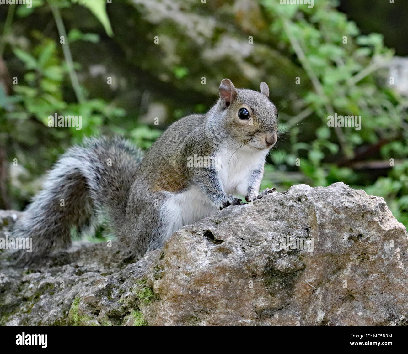 Eastern grey squirrel (Sciurus carolinensis) watching trail from a rock - Stock Image