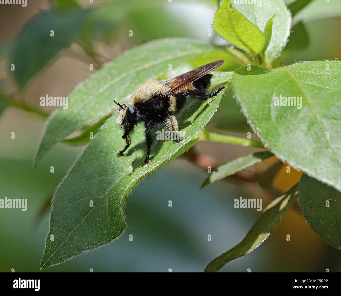 Florida Bee killer (Mallophora bomboides) macro - Stock Image