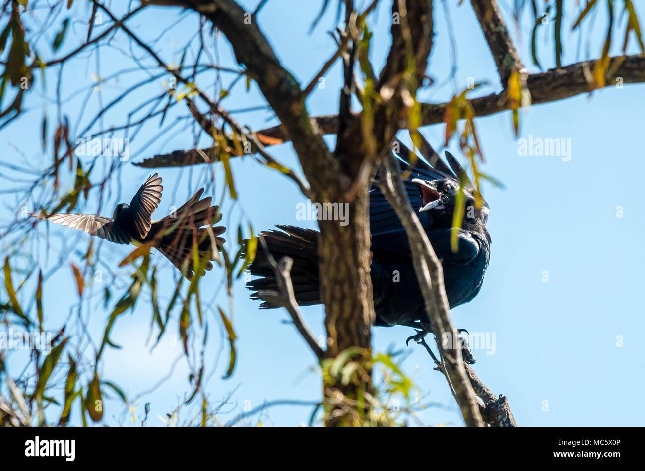 Australian Raven, Corvus coronoides - Stock Image