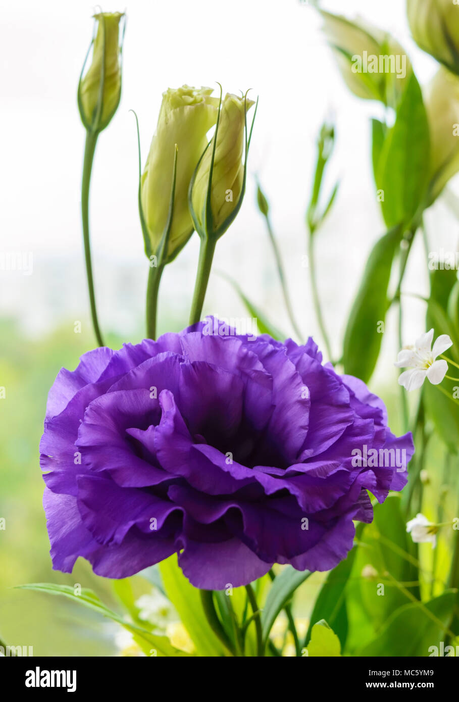 Delicate purple flower eustomy (lisianthus) on a background of nature. Close-up - Stock Image