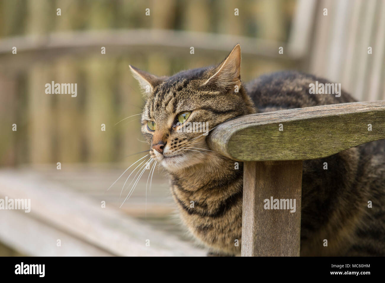 Young tabby cat, bengal cat rubbing it's cheeks onto a bench to leave it's hormonal scent. - Stock Image