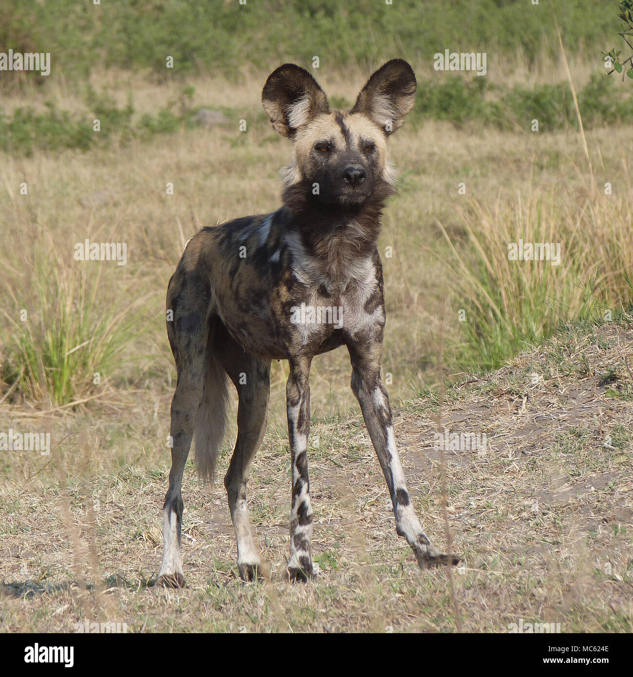 African hunting Dog - Stock Image