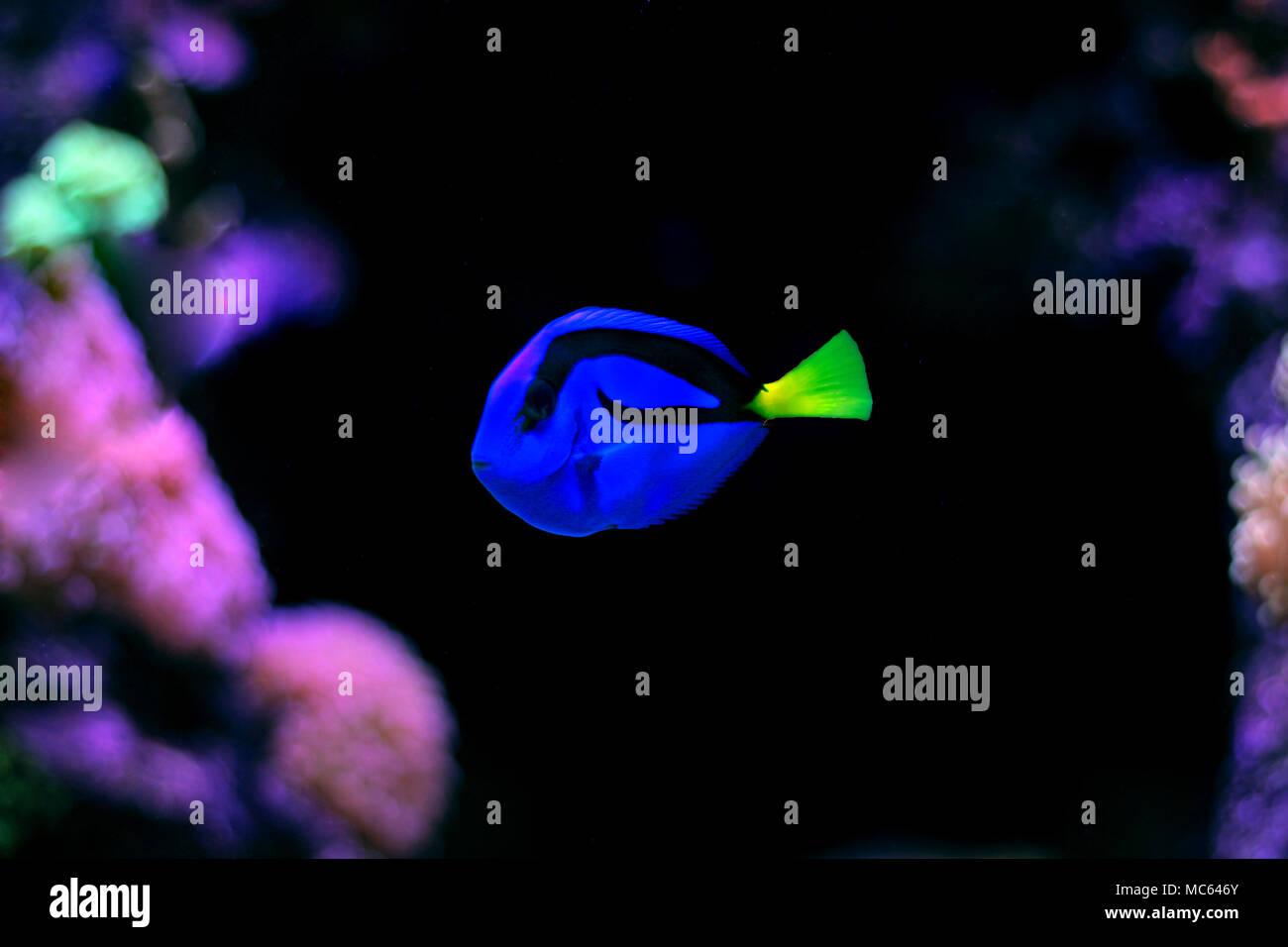 Blue Tang (Paracanthurus hepatus) - Stock Image