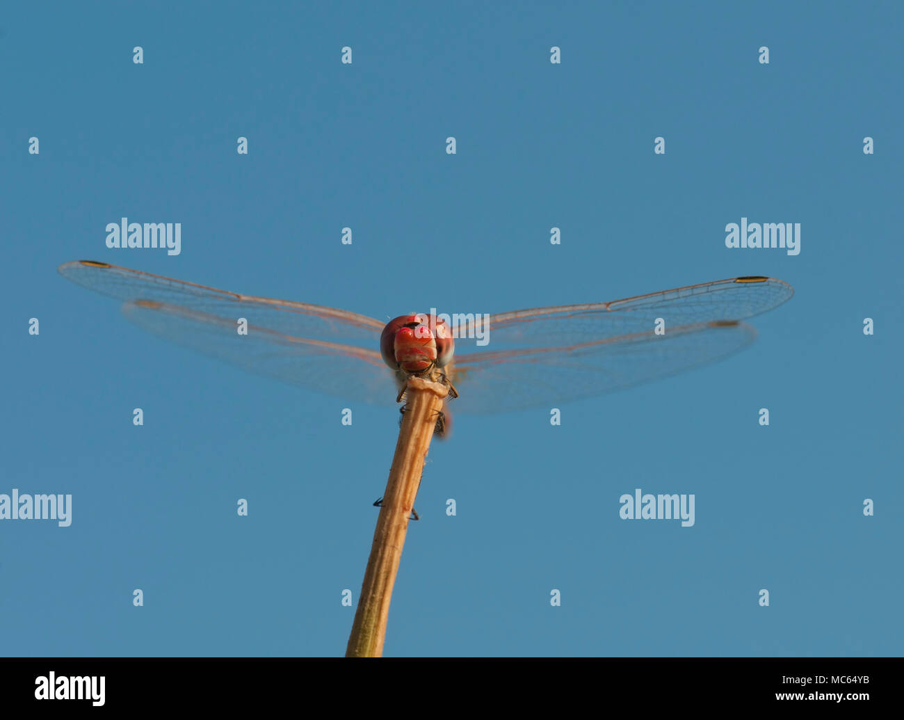 Scarlet dragonfly, Crocothemis erythrea Stock Photo