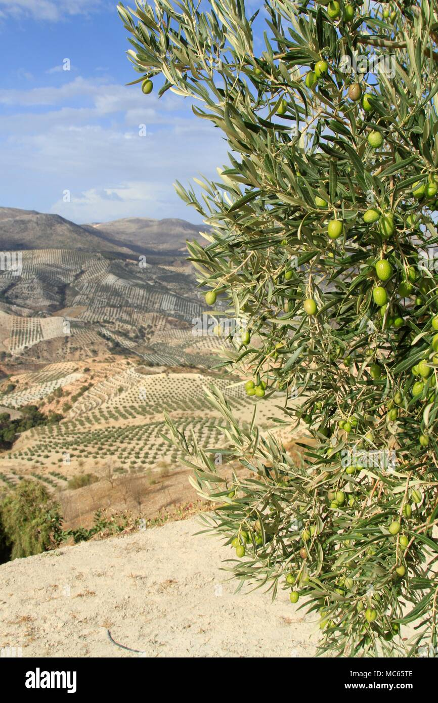 Olive branches bearing fruit in an olive orchard in Andalusia, Southern Spain - Stock Image