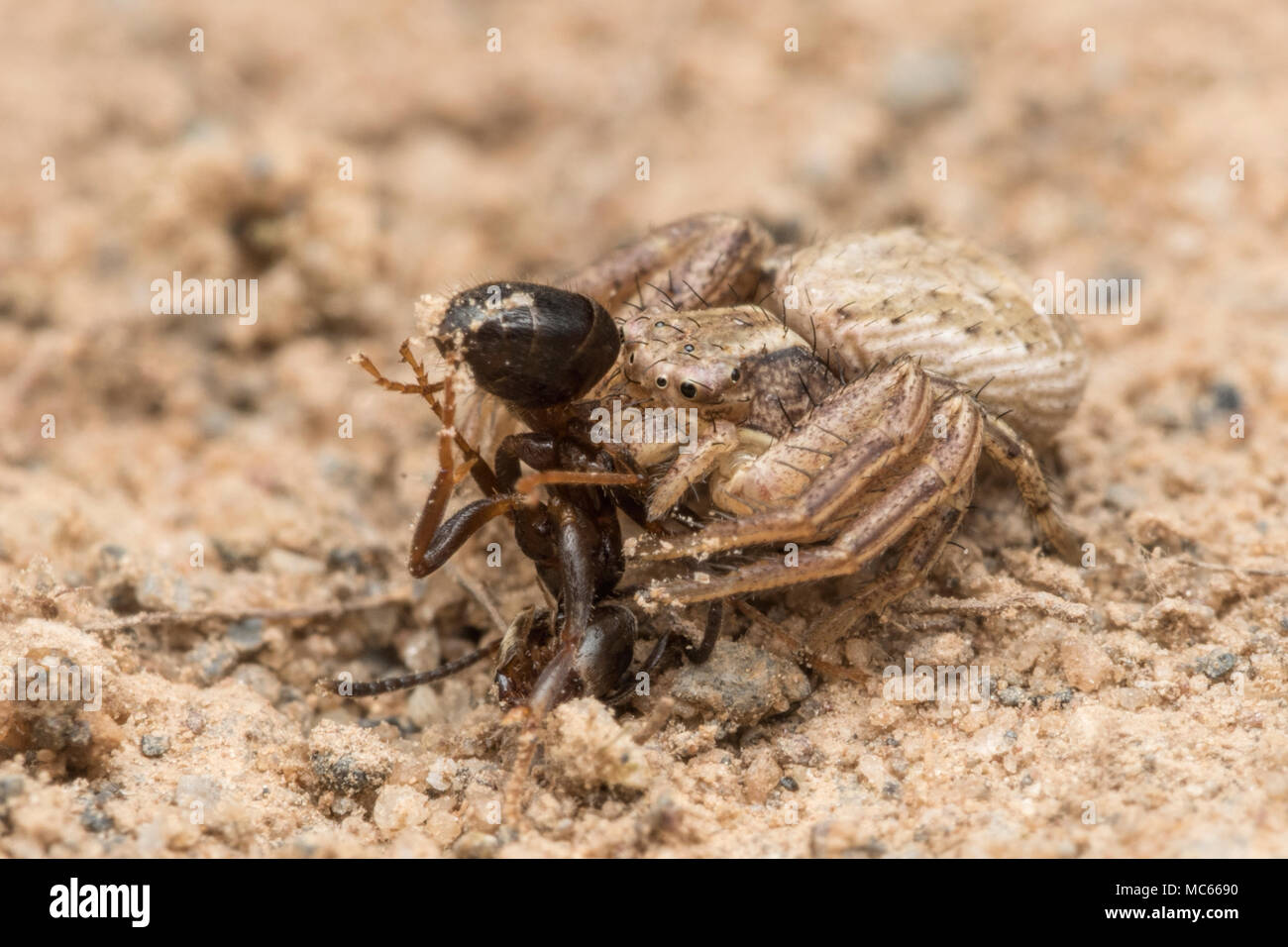Crab spider (Xysticus sp.) feeding on an ant. Tipperary, Ireland - Stock Image