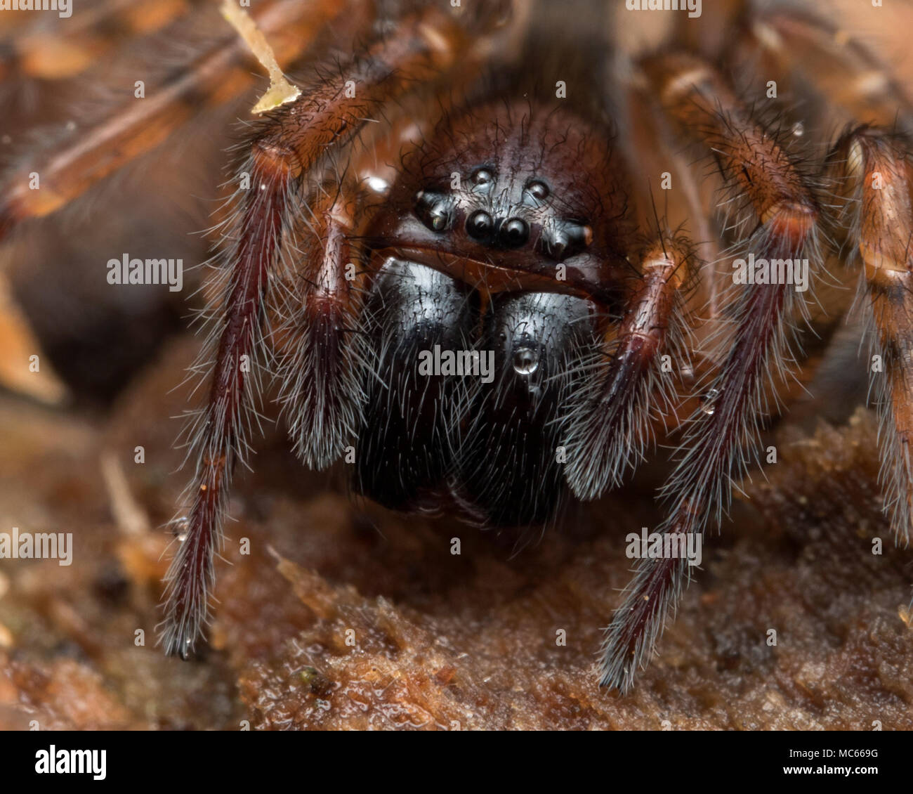 Lace-web Spider (Amaurobis sp.) underneath tree bark. Close up of the head. Tipperary, Ireland - Stock Image