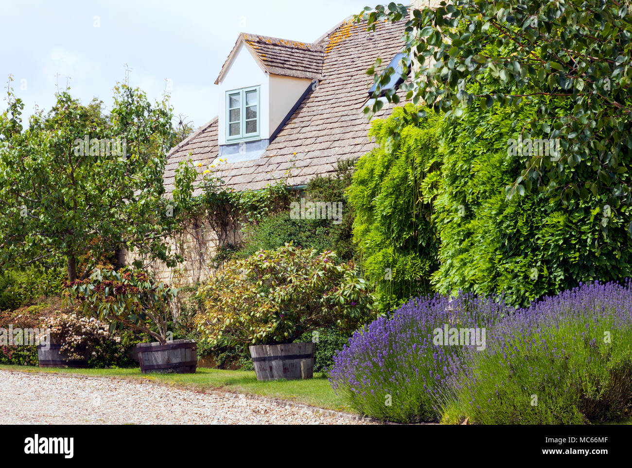 English Cottage Garden With Purple Flowering Lavender, Rhododendrons In Wooden  Barrels, Pear Tree Fruit, Hanging Wisteria, On A Side Of Limestone Buil