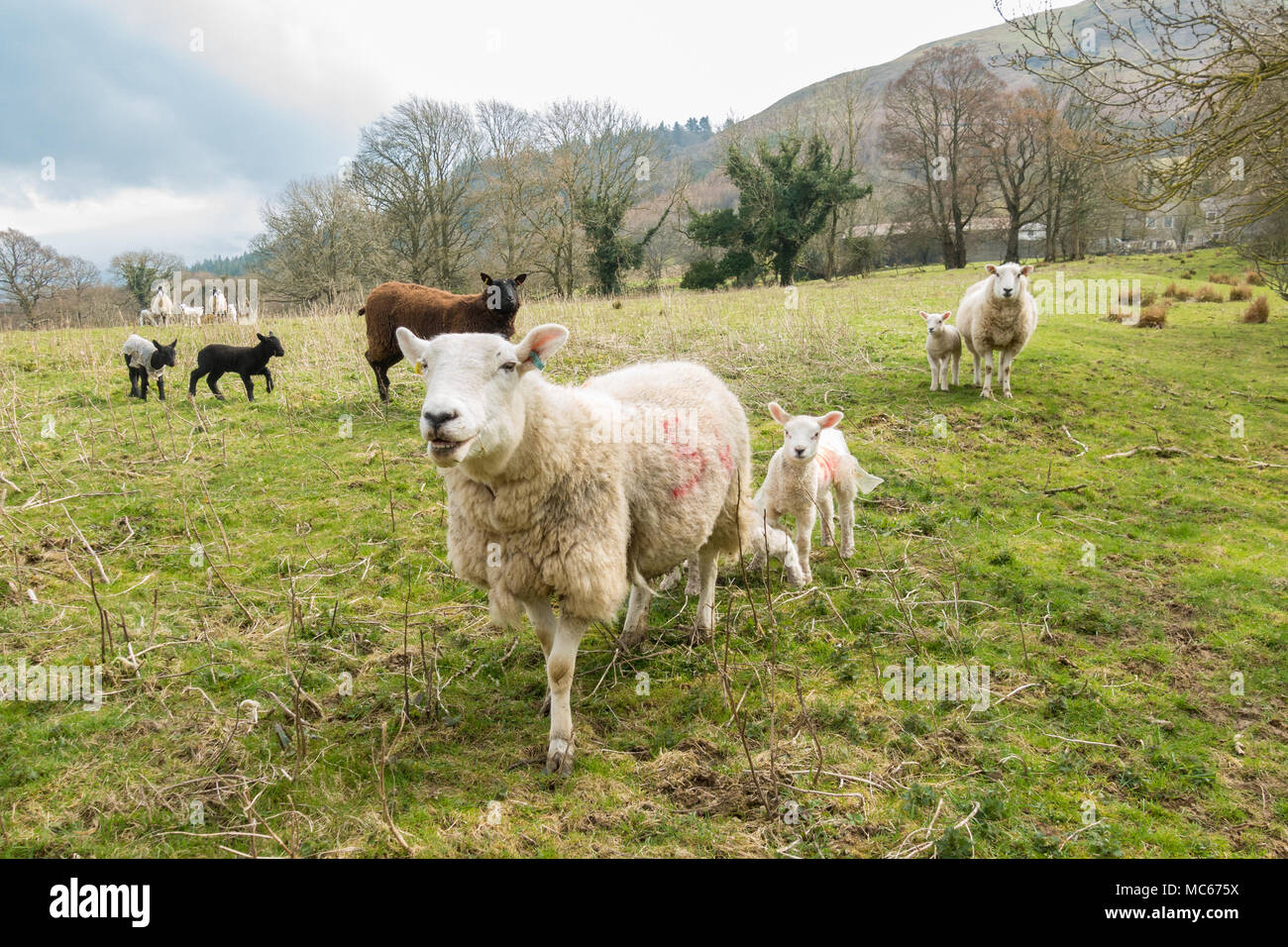 Ewes and lambs in the Lake District, Cumbria, England, UK - Stock Image