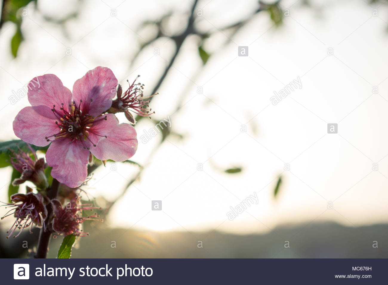 soft pink flower background - Stock Image