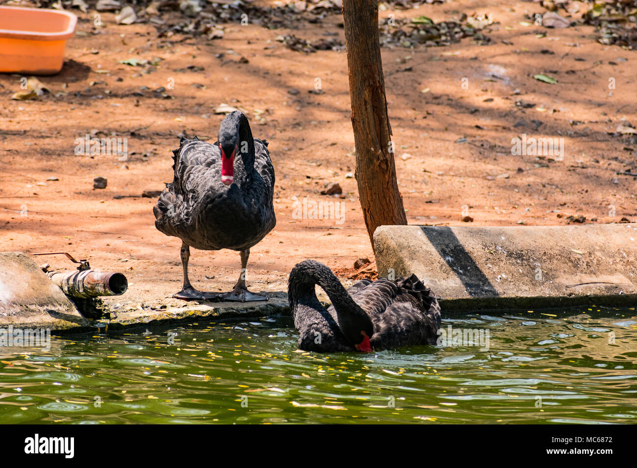 A black couple swan playing at water at zoo. Stock Photo