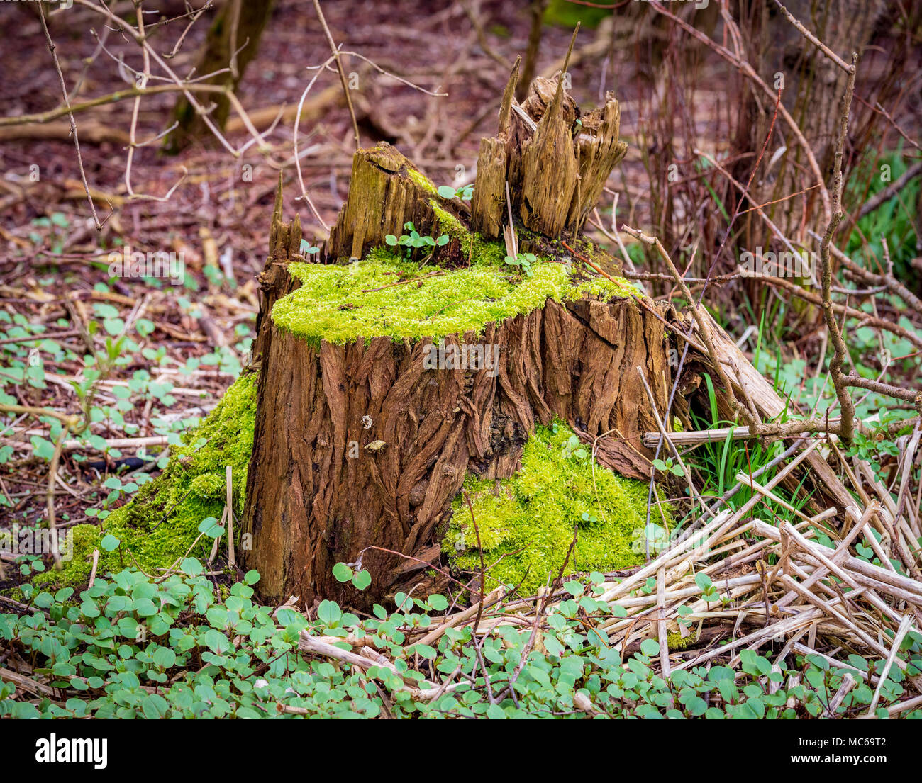 Natures colours Rotting tree stump covered in moss. - Stock Image