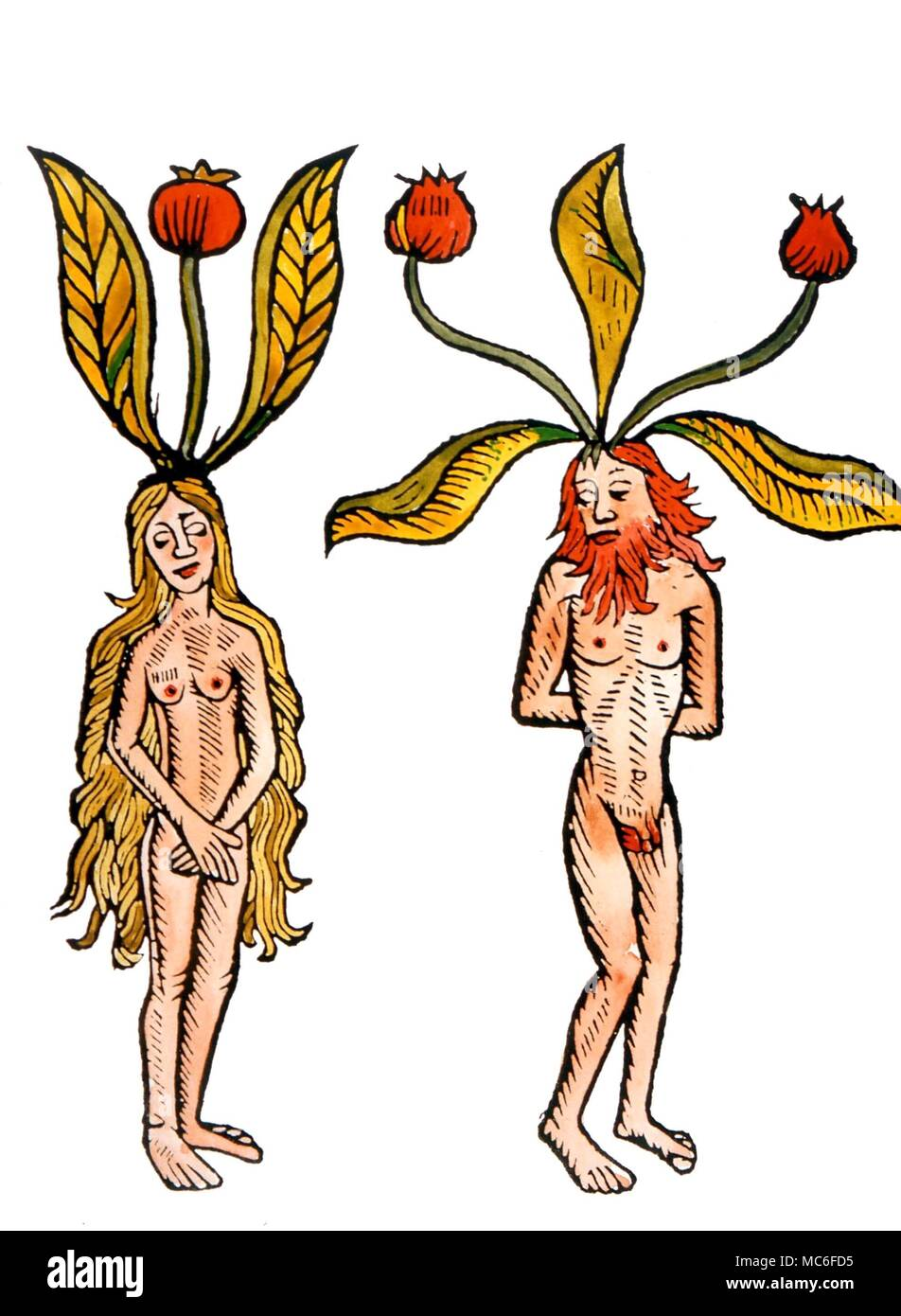 WITCHCRAFT - The mandagora or mandrake - humanoid plants which figured in many witchcraft recipes. After a 16th century print Stock Photo
