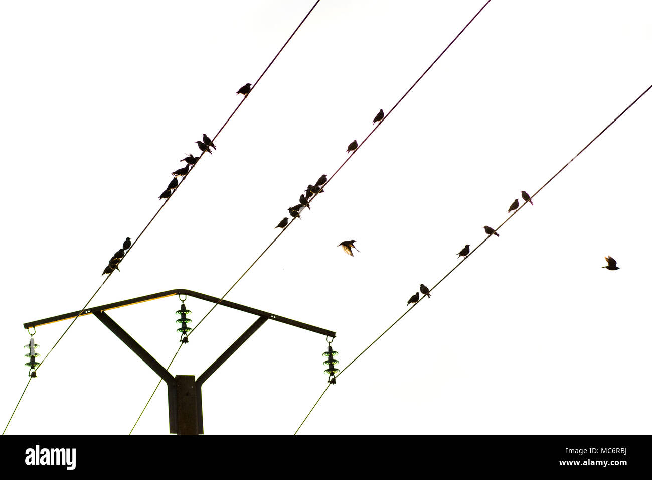 Birds on a telephone pole wire, Puy de Dome, Auvergne, France, Europe Stock Photo