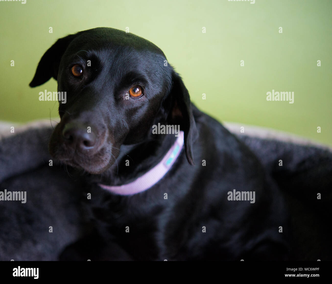Soulful black Labrador - Stock Image