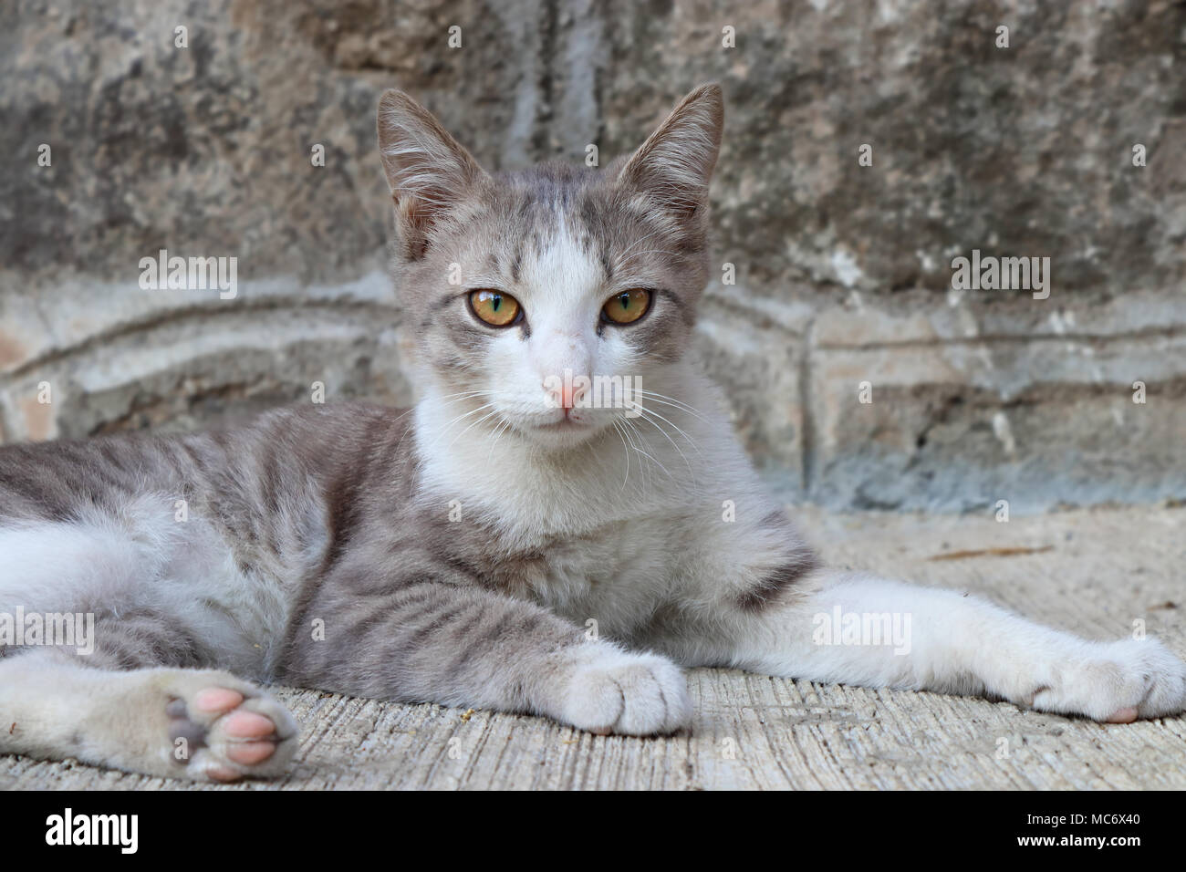 Grey-white kitten sitting in a majestic pose Stock Photo