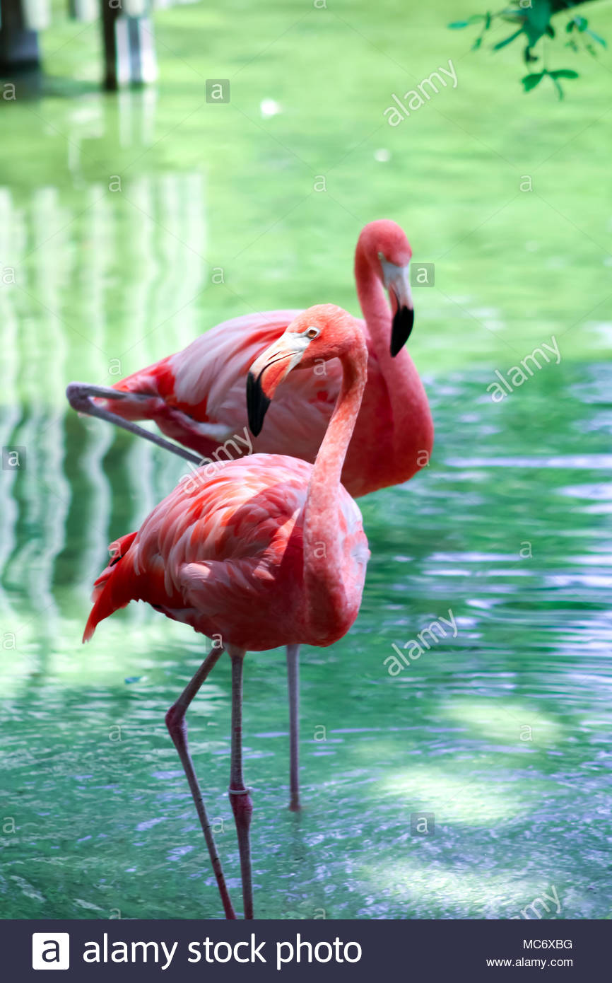 Amazing pink flaming in a wild - Stock Image