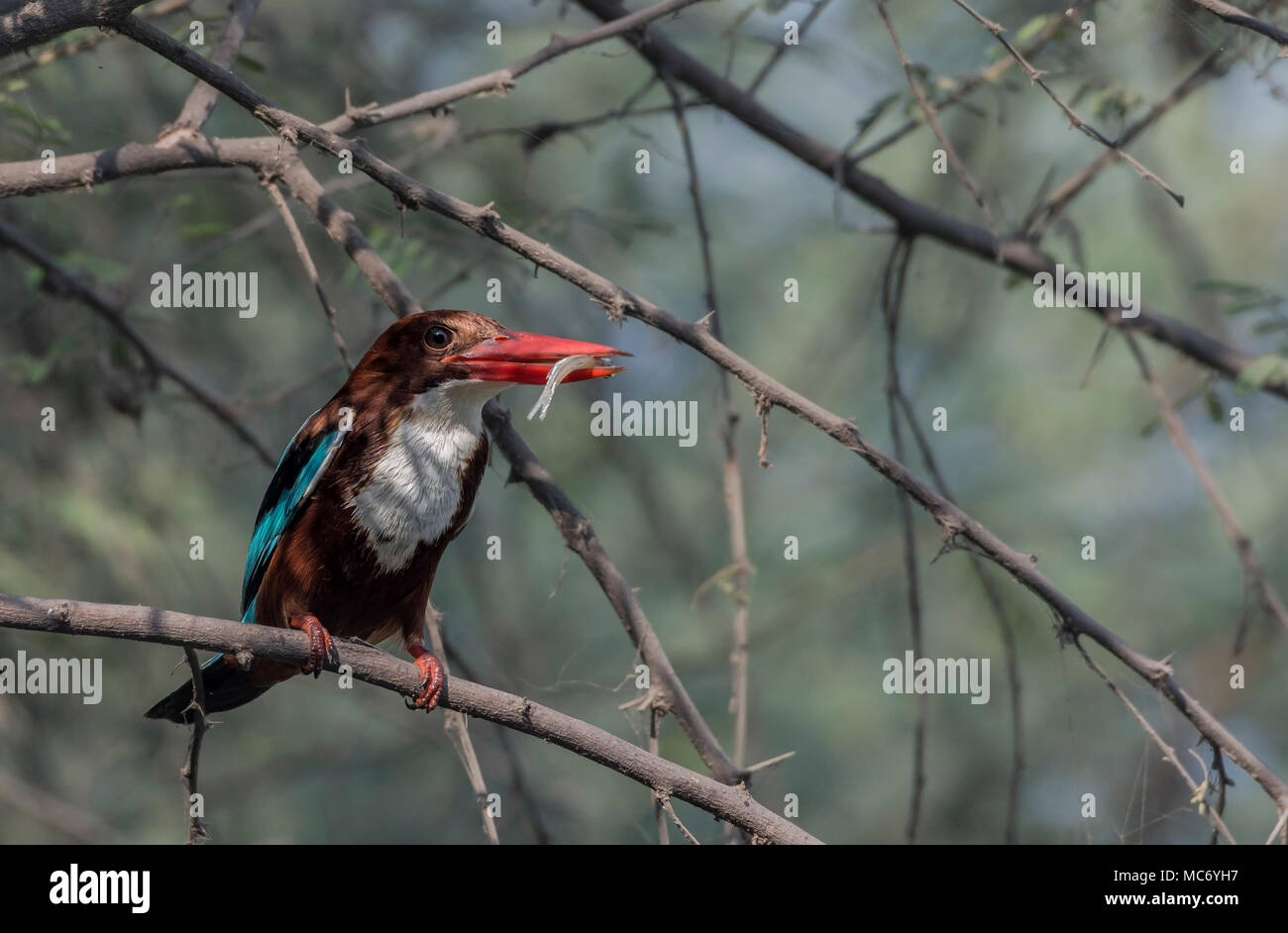 White-Throated Kingfisher (Halcyon smyrnensis) Eating Fish. - Stock Image